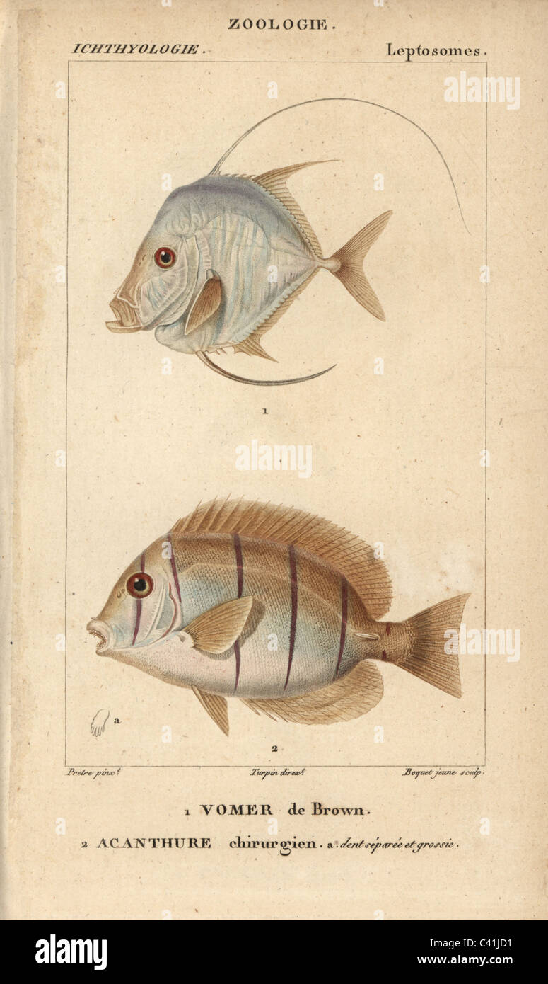 Caribbean moonfish and doctorfish - Stock Image