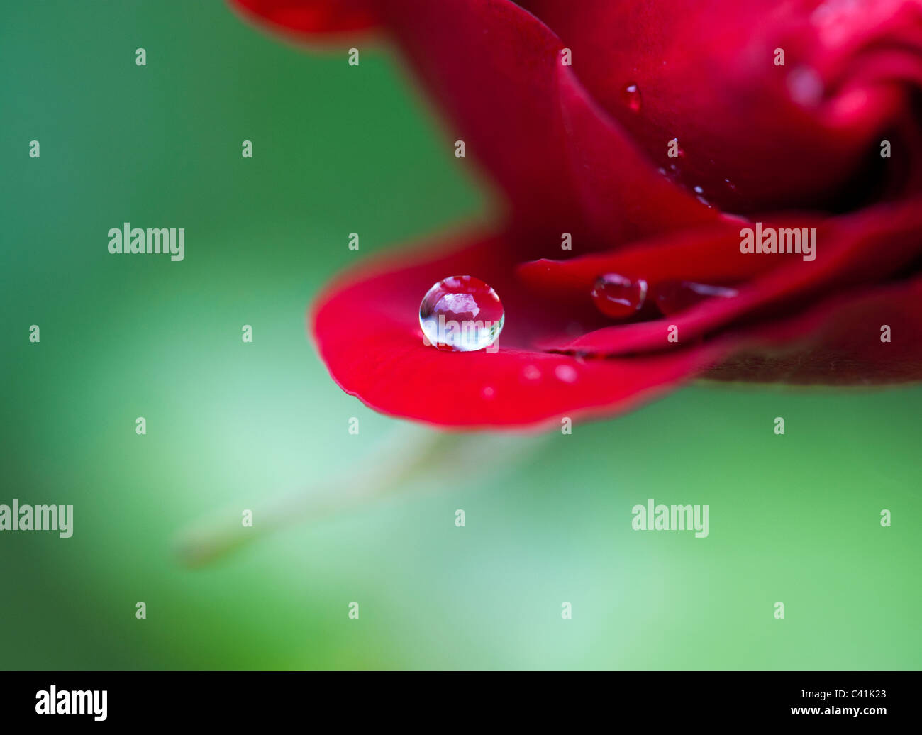 Raindrop on red rose petals against a green background - Stock Image