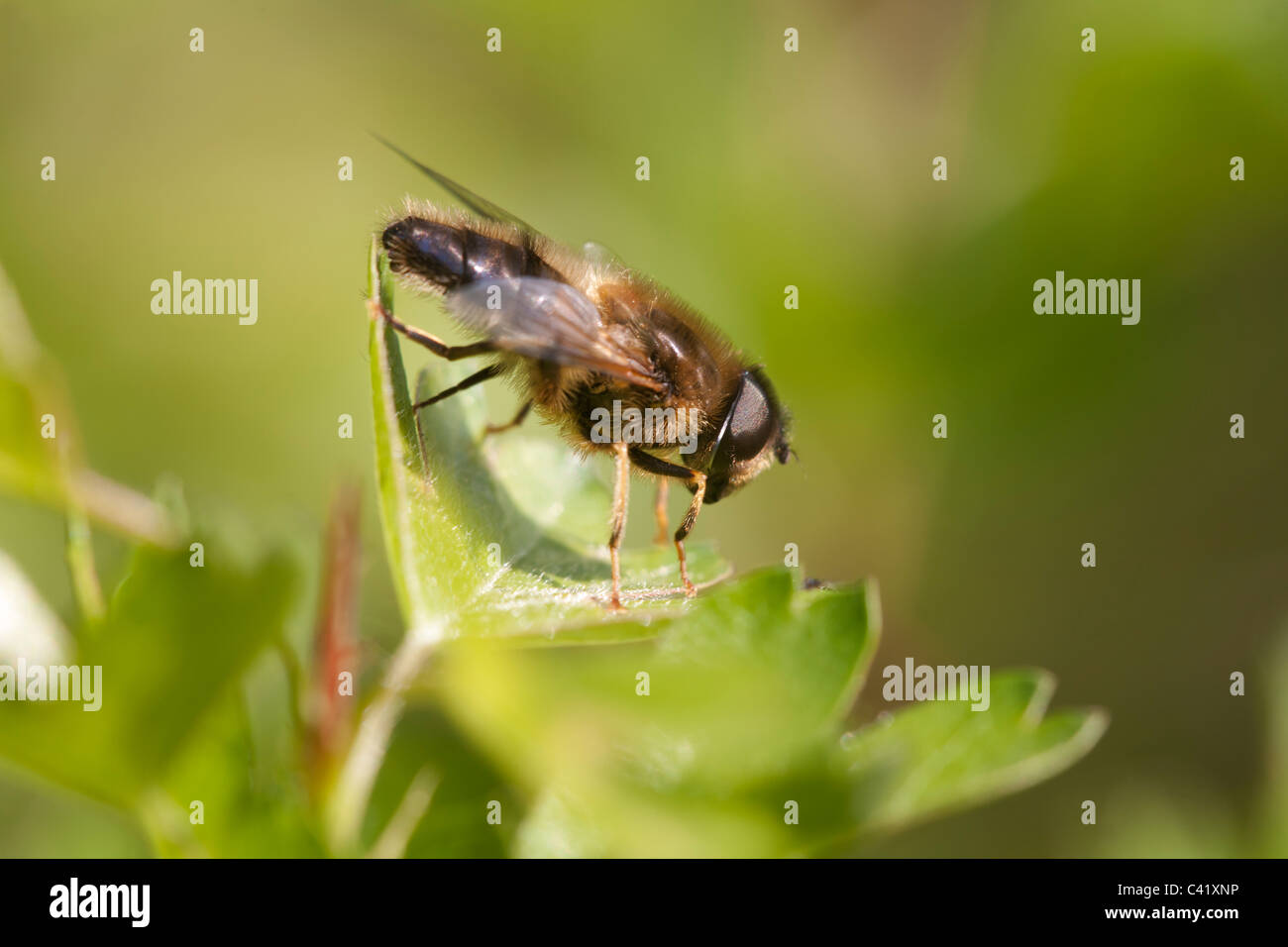 Hoverfly Eristalis tenax adult at rest on aleaf Stock Photo