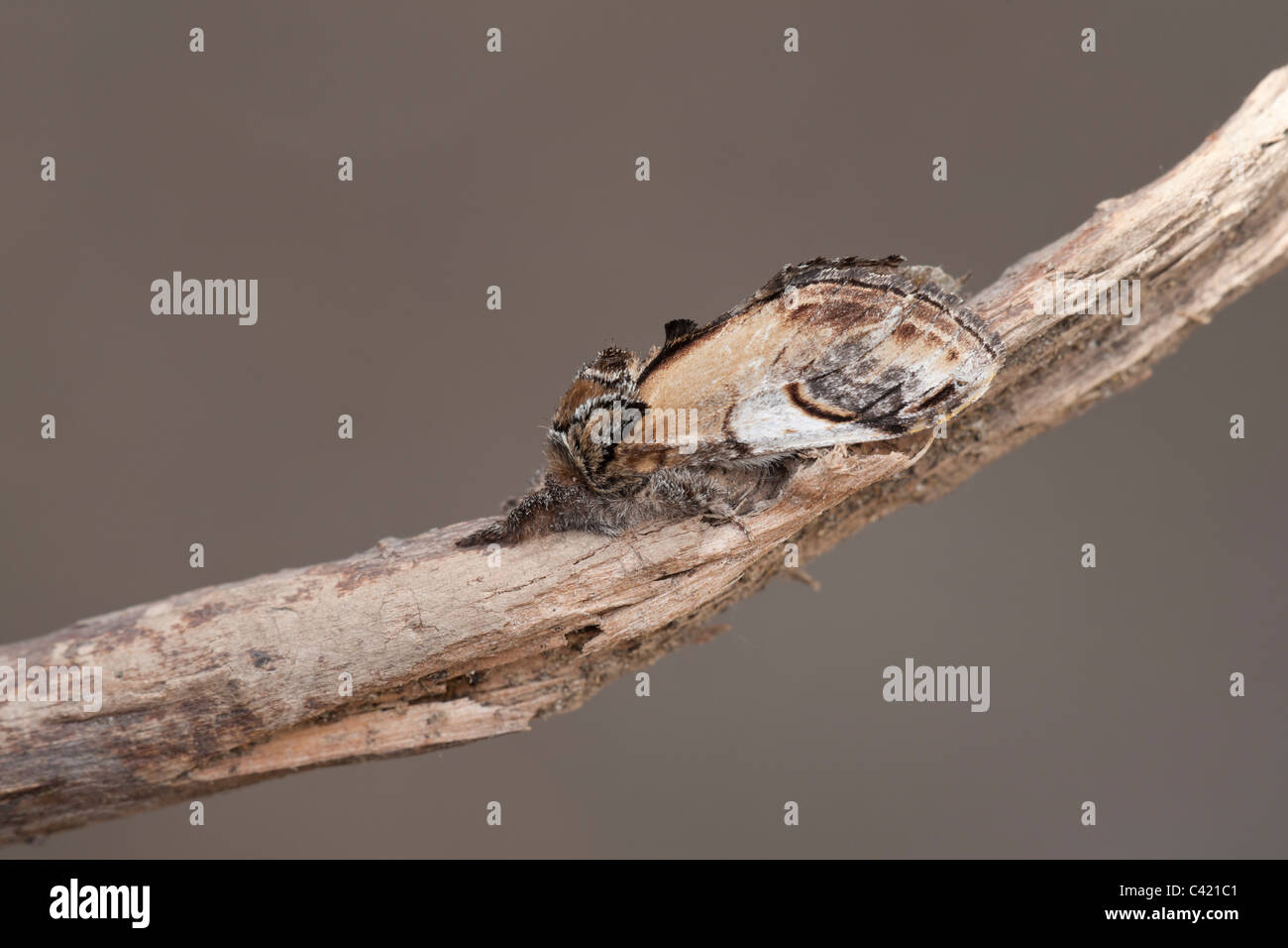 Swallow Prominent Pheosia tremula adult moth at rest on a twig - Stock Image