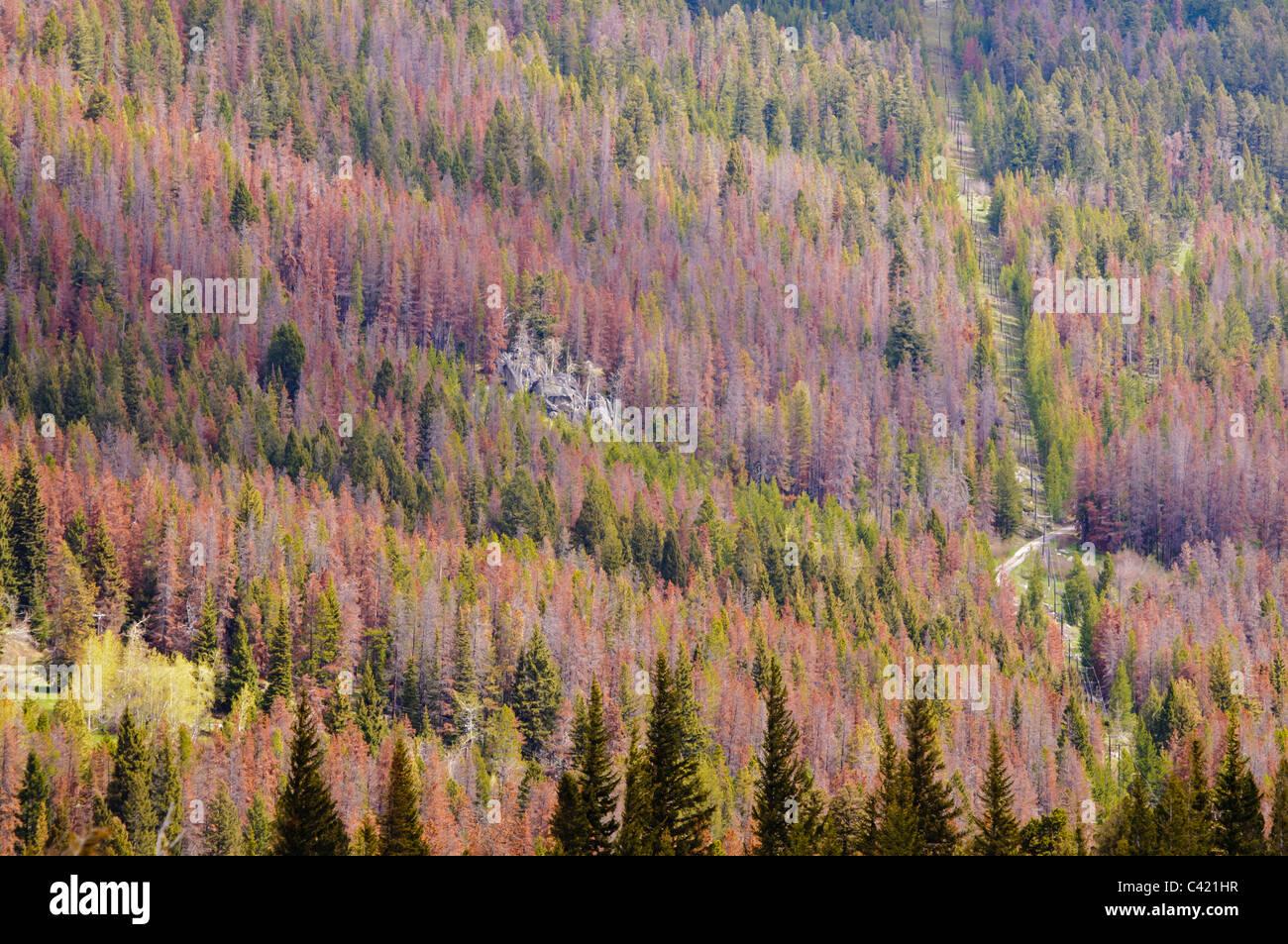 Beetle killed trees at McDonald Pass near Helena Montana. - Stock Image