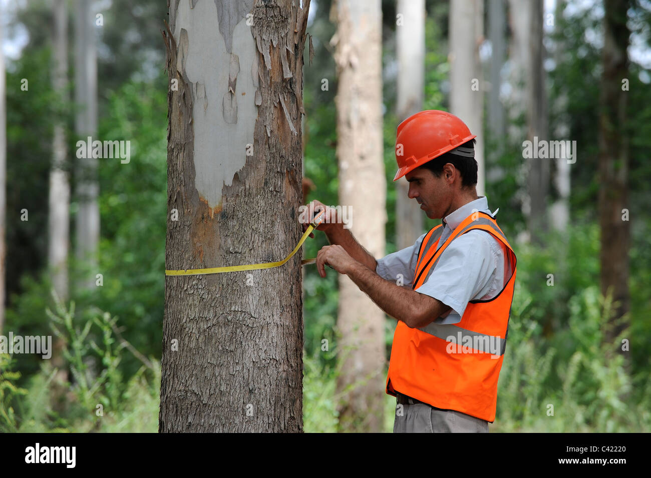 URUGUAY Rivera , FSC eucalyptus grande forest of company Urufor for timber , pulp and biomass use - Stock Image