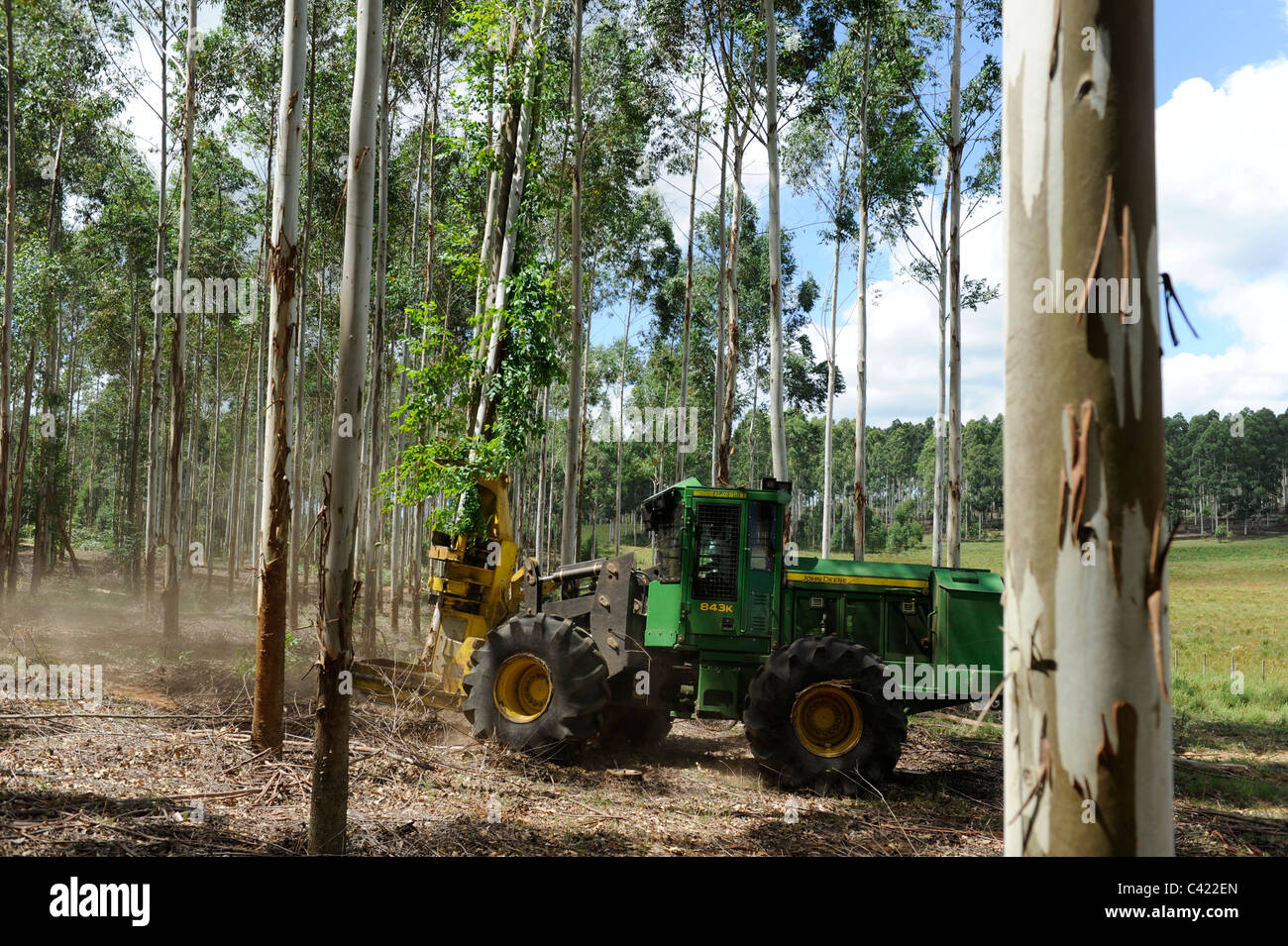 URUGUAY Rivera , FSC eucalyptus grande forest of company Urufor for timber , pulp and biomass use,harvest with timber Stock Photo