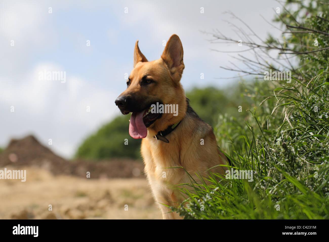 german shepherd dog  Alsatian - Stock Image