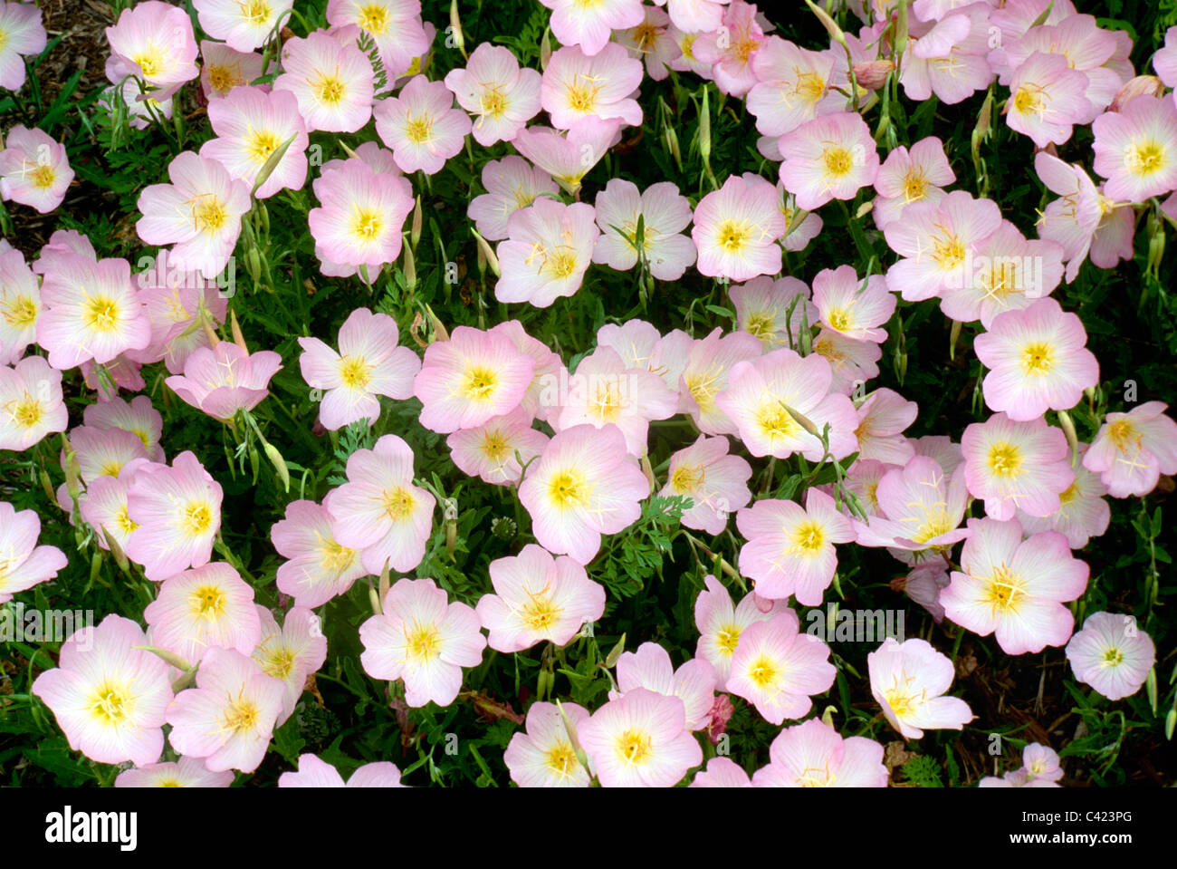 Many pink flowers blooming in early Spring - Evening primrose (Oenothera speciosa) close up, USA - Stock Image