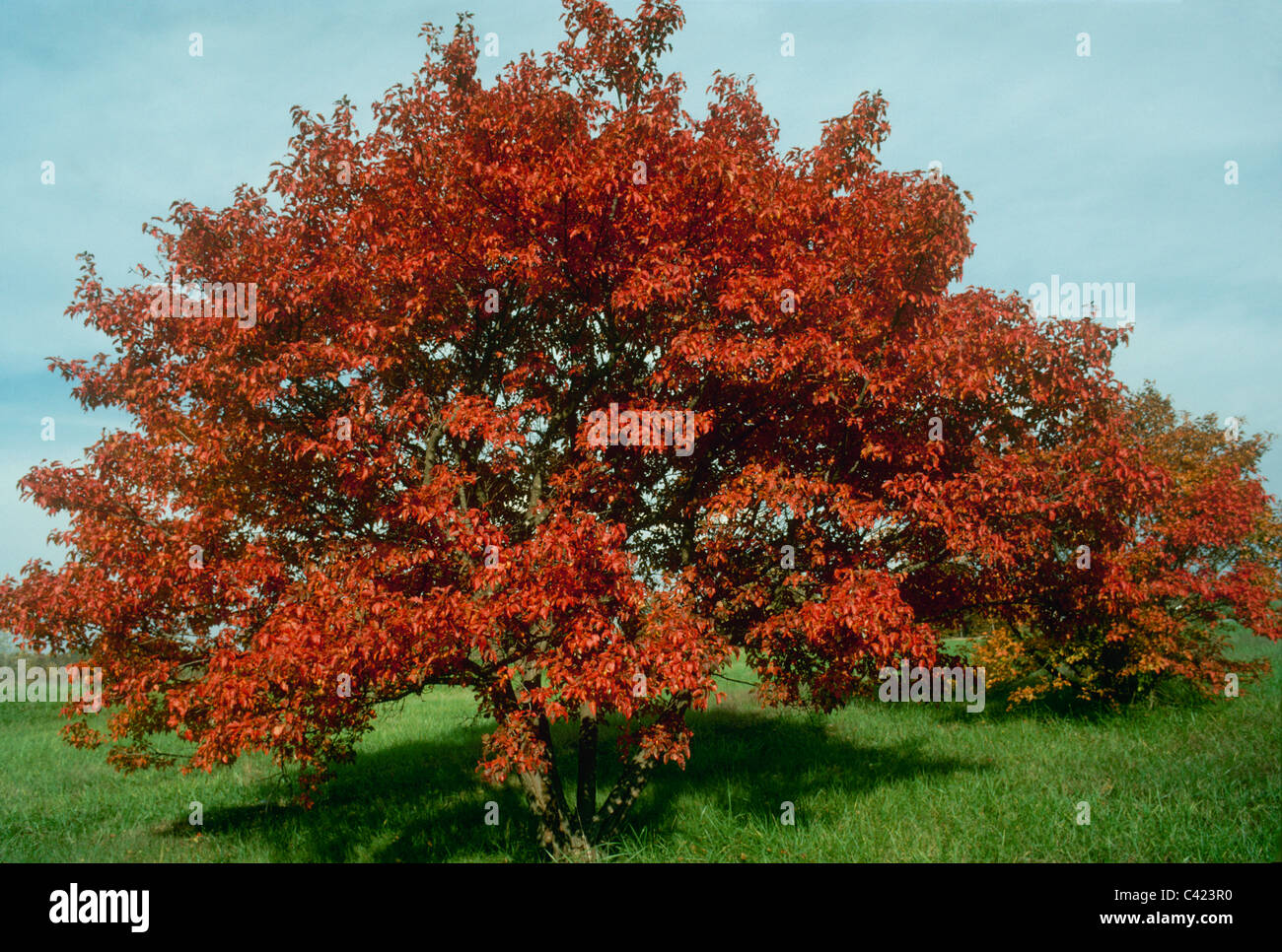 Acer Ginnala Or Amur Maple Known For Flame Colored Bright Leaves In