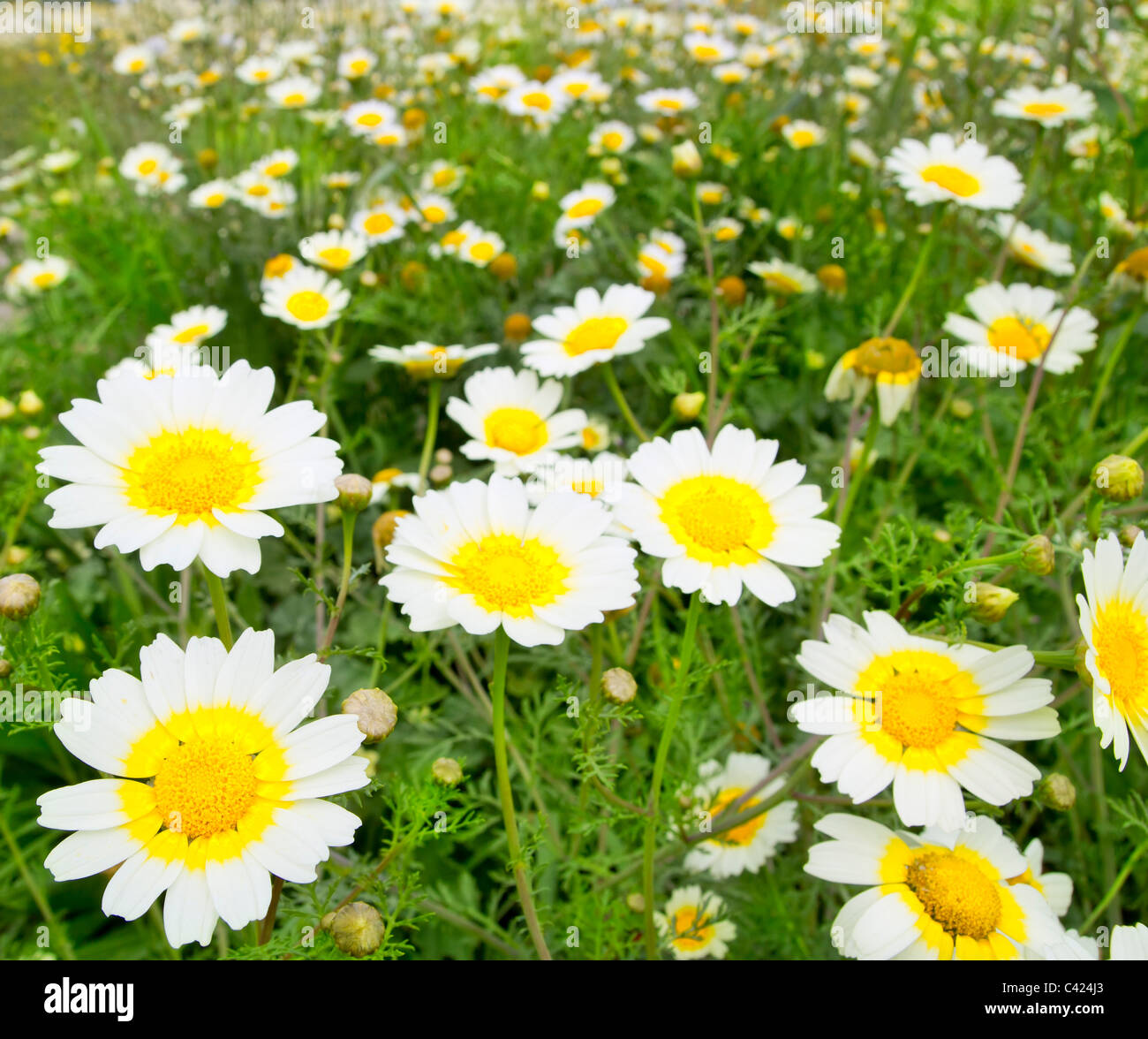 Daisy Spring Flowers Field Yellow And White Colorful Meadow Stock