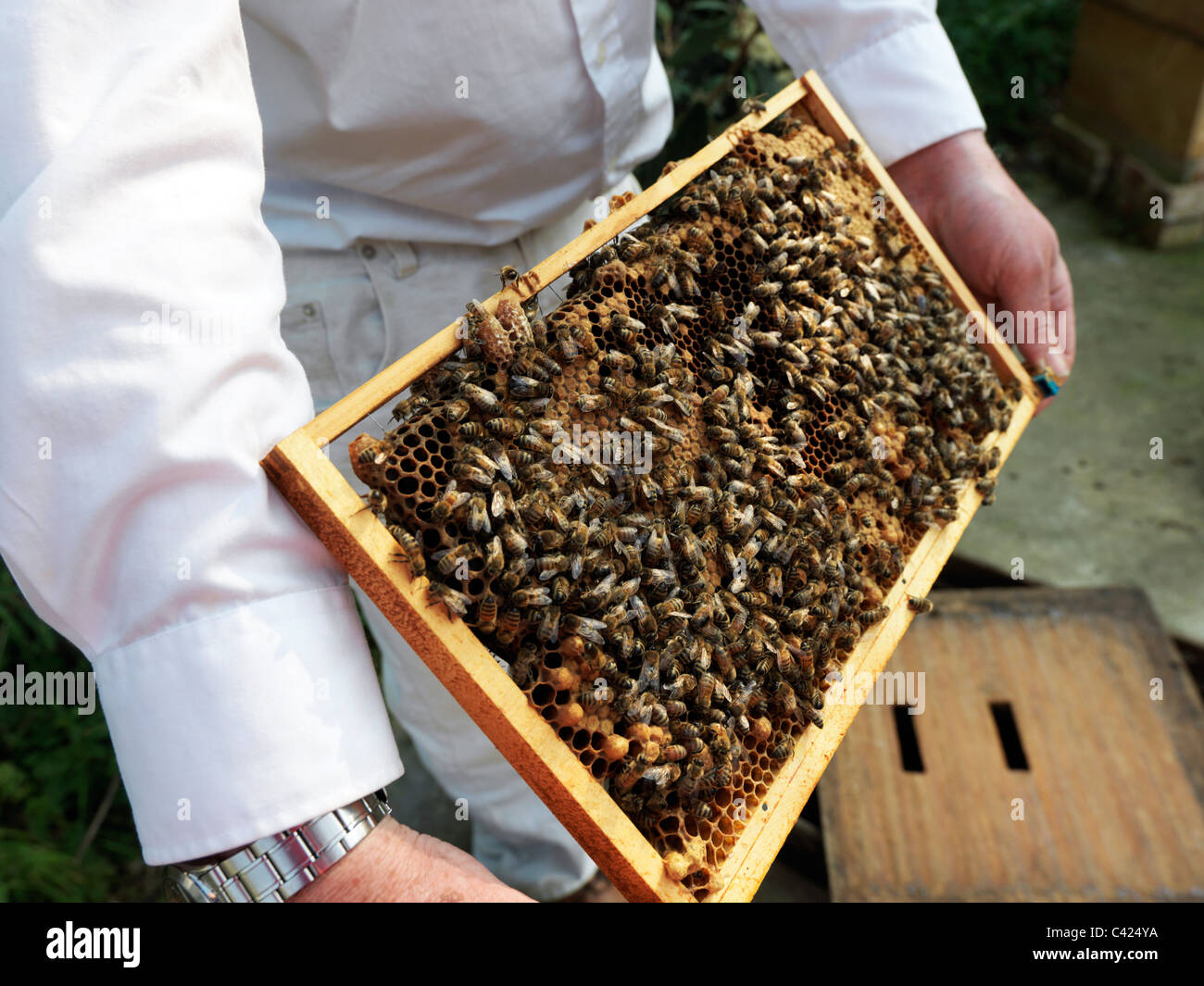 Frame From A Bee Hive Containing Brood And Queen Cells With Bee Entering Queen Cell - Stock Image