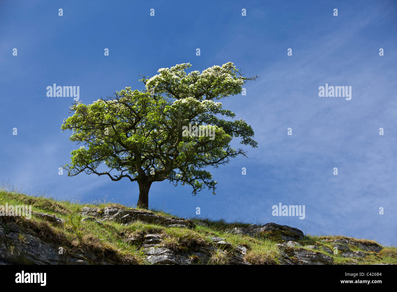 Hawthorn tree, Crataegus mongyna, Ingleton, North Yorkshire - Stock Image