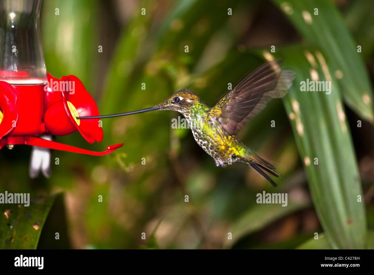 Sword-billed hummingbird ( Ensifera Ensifera ) at feeder - Stock Image