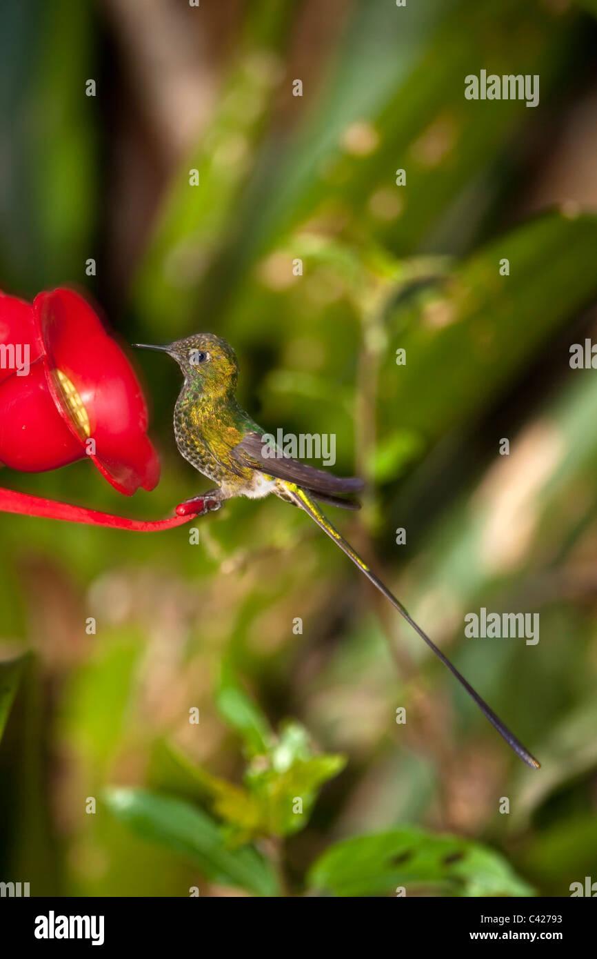 Hummingbirds in the garden of the Kentikafe museum coffee shop. Green-tailed Trainbearer ( Lesbia Nuna ) at feeder. - Stock Image