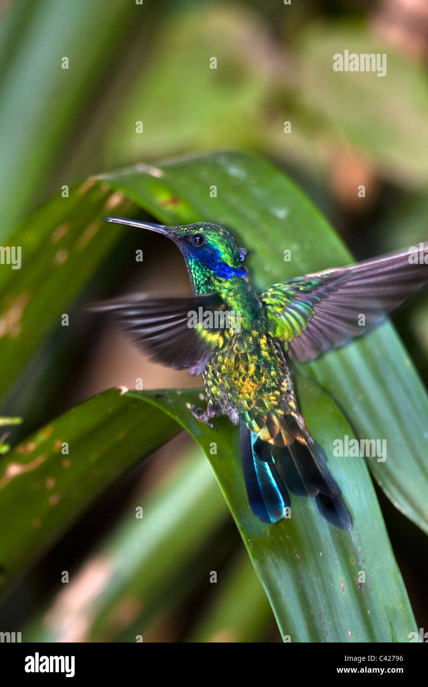 Hummingbirds in the garden of the Kentikafe museum coffee shop. Sparkling Violet-ear ( Colibri Coruscans ). - Stock Image