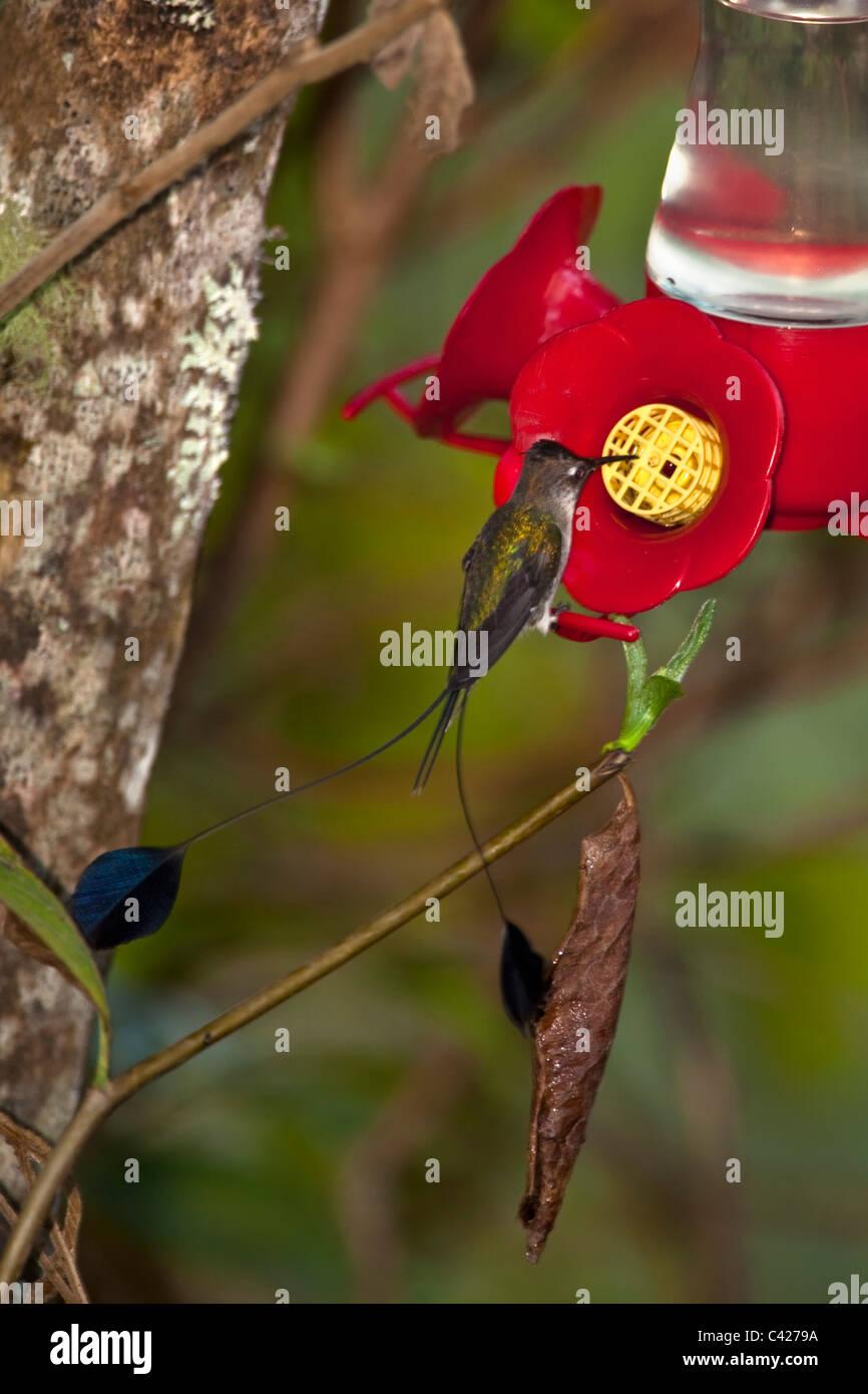 Hummingbirds in the garden of the Kentikafe museum coffee shop. Marvellous Spatuletail ( Loddigesia Mirabilis ) - Stock Image
