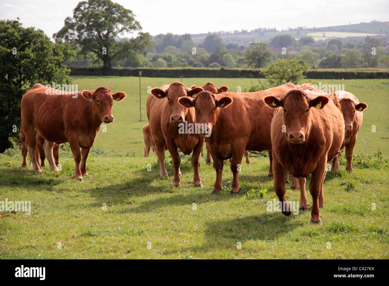 South Devon suckler cows - Stock Image