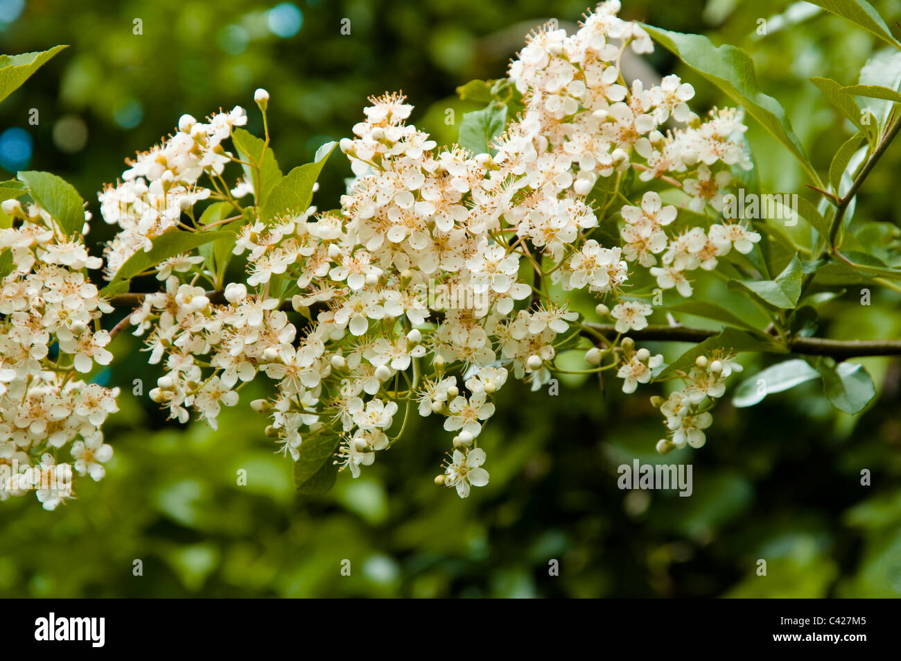 Pyracantha Branch showing abundant, bee friendly, creamy white flowers. - Stock Image