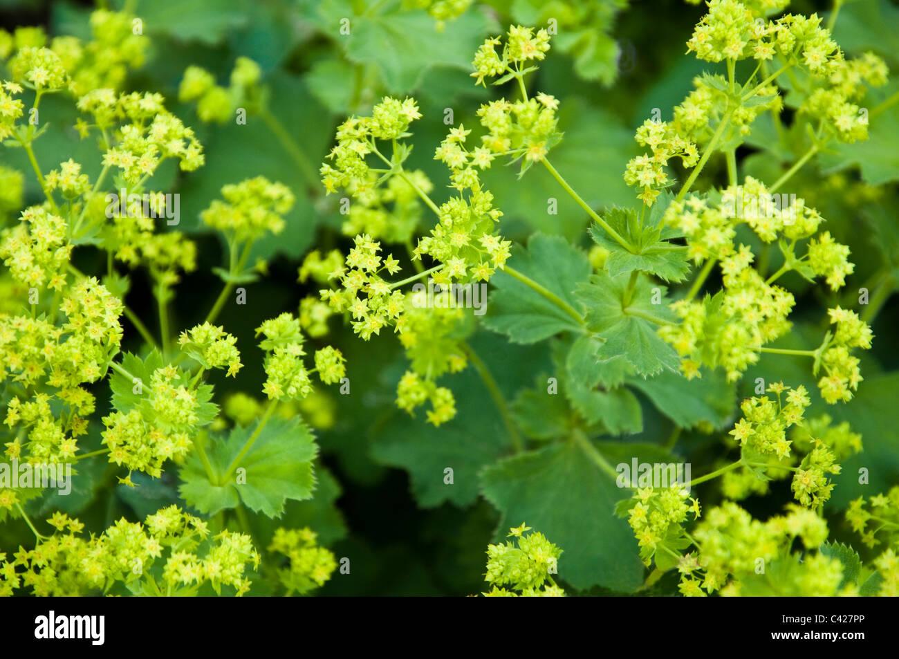 Flowers of the Alchemilla Mollis ( Lady's Mantle ). UK - Stock Image