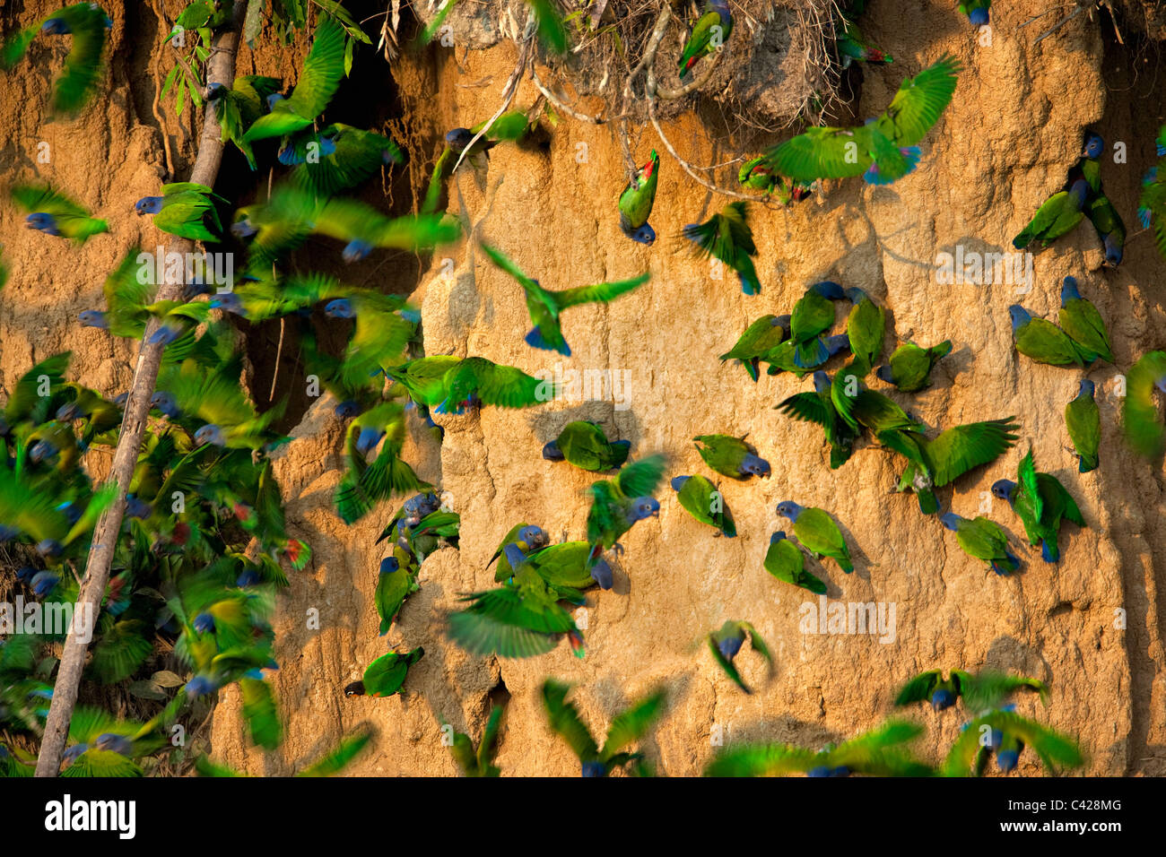 Manu National Park, Blue Headed Parrots ( Pionus menstruus ) ingesting clay from Tambo Blanquillo clay lick. - Stock Image