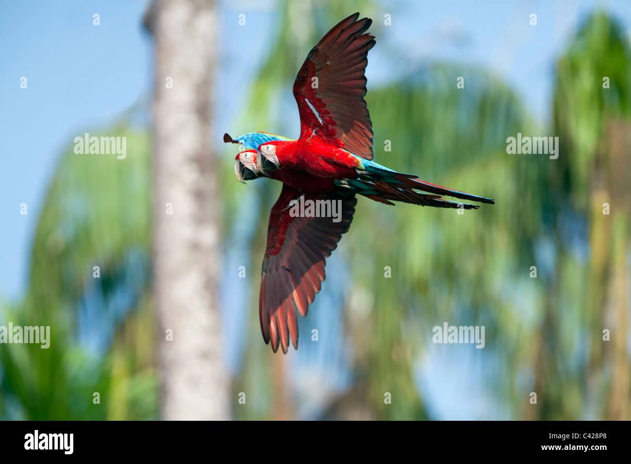 Manu National Park, Red and Green Macaw ( Ara chloroptera ) near Tambo Blanquillo clay lick. Flying. - Stock Image