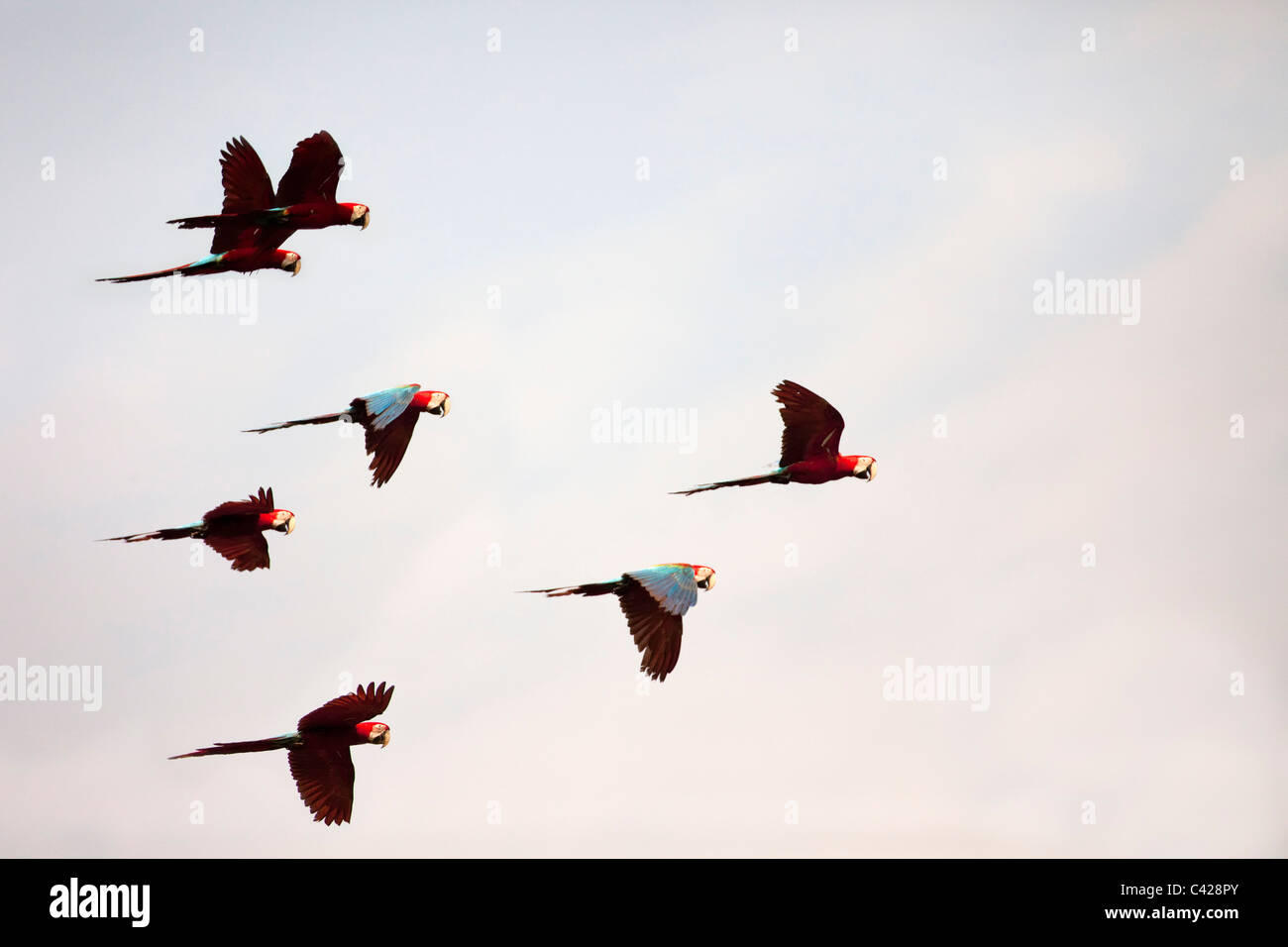 Manu National Park, Red and Green Macaws ( Ara chloroptera ) near Tambo Blanquillo clay lick. Flying. Flying. - Stock Image