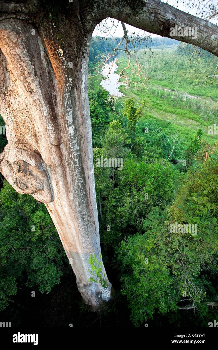 Manu National Park, View from canopy platform ( 40m high ) on Kapok tree ( Ceiba pentandra ). - Stock Image