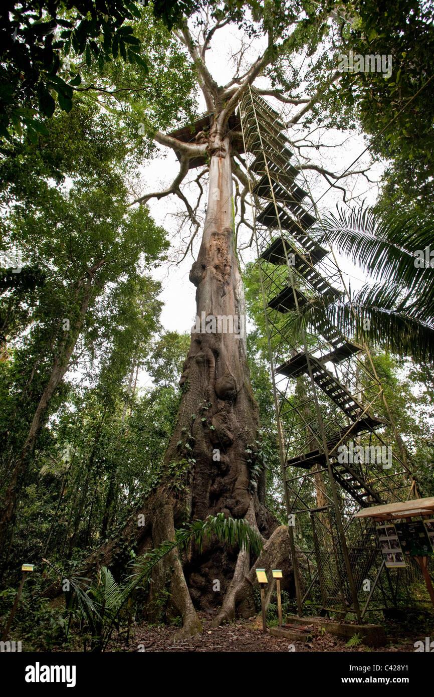 Manu National Park, View on canopy platform ( 40m high ) in Kapok tree ( Ceiba pentandra ). - Stock Image