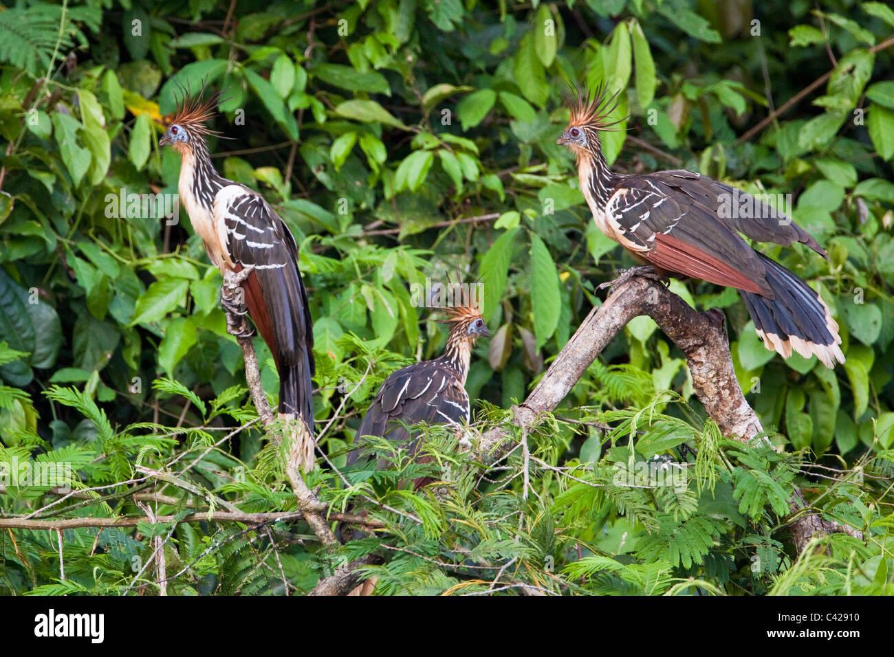 Peru, Boca Manu, Blanquillo, Manu National Park, UNESCO World Heritage Site. Hoatzin birds ( Opisthocomus hoazin - Stock Image