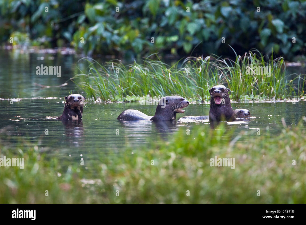 Peru, Boca Manu, Blanquillo, Manu National Park, UNESCO World Heritage Site. Giant otters, ( Pteronura brasiliensis - Stock Image