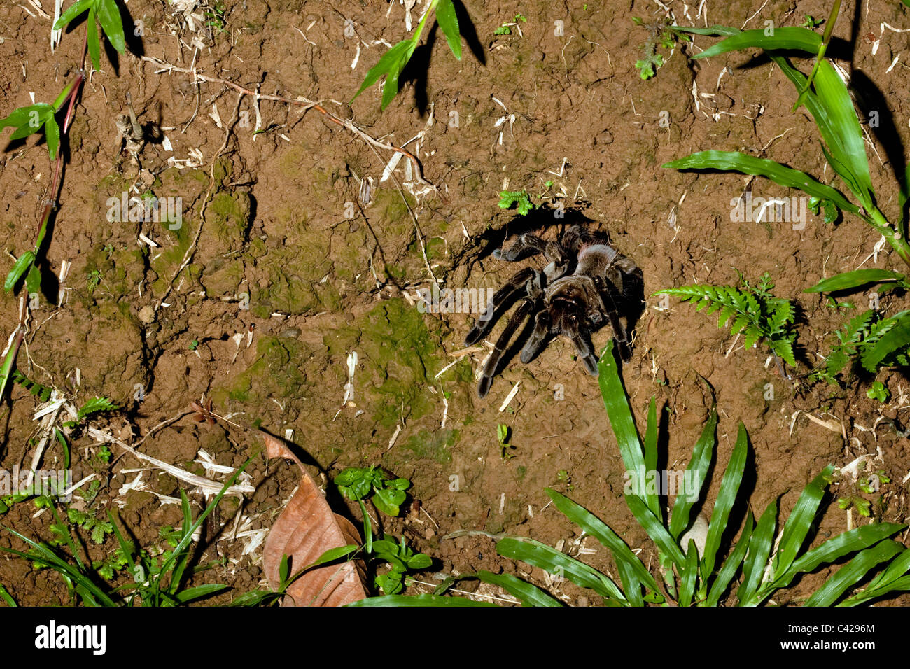Peru, Boca Manu, Blanquillo, Manu National Park, UNESCO World Heritage Site. Tarantula spider coming out of his - Stock Image