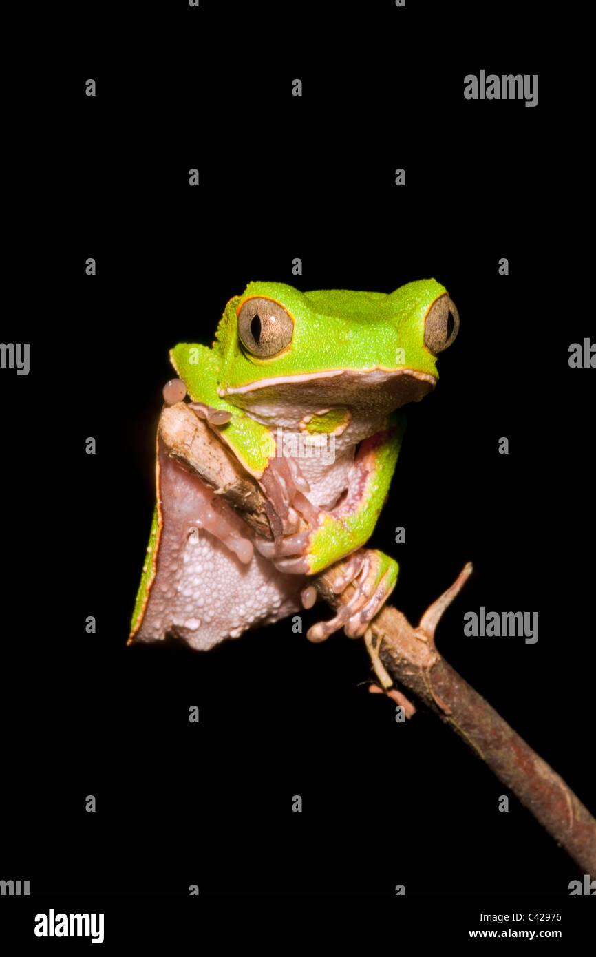 Peru, Boca Manu, Blanquillo, Manu National Park, UNESCO World Heritage Site. Leaf frog. - Stock Image