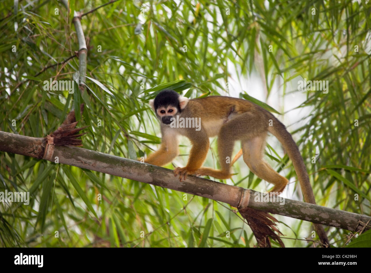 Peru, Boca Manu, Blanquillo, Manu National Park, UNESCO World Heritage Site, Common Squirrel Monkey ( Saimiri sciureus ). Stock Photo
