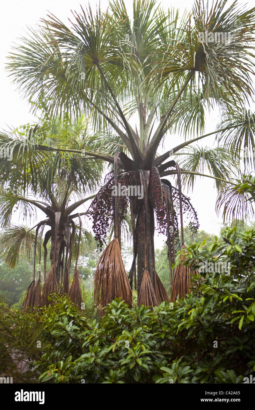 Peru, Cruz de Mayo, Manu National Park, UNESCO World Heritage Site, Pantiacolla mountains. palm trees. - Stock Image