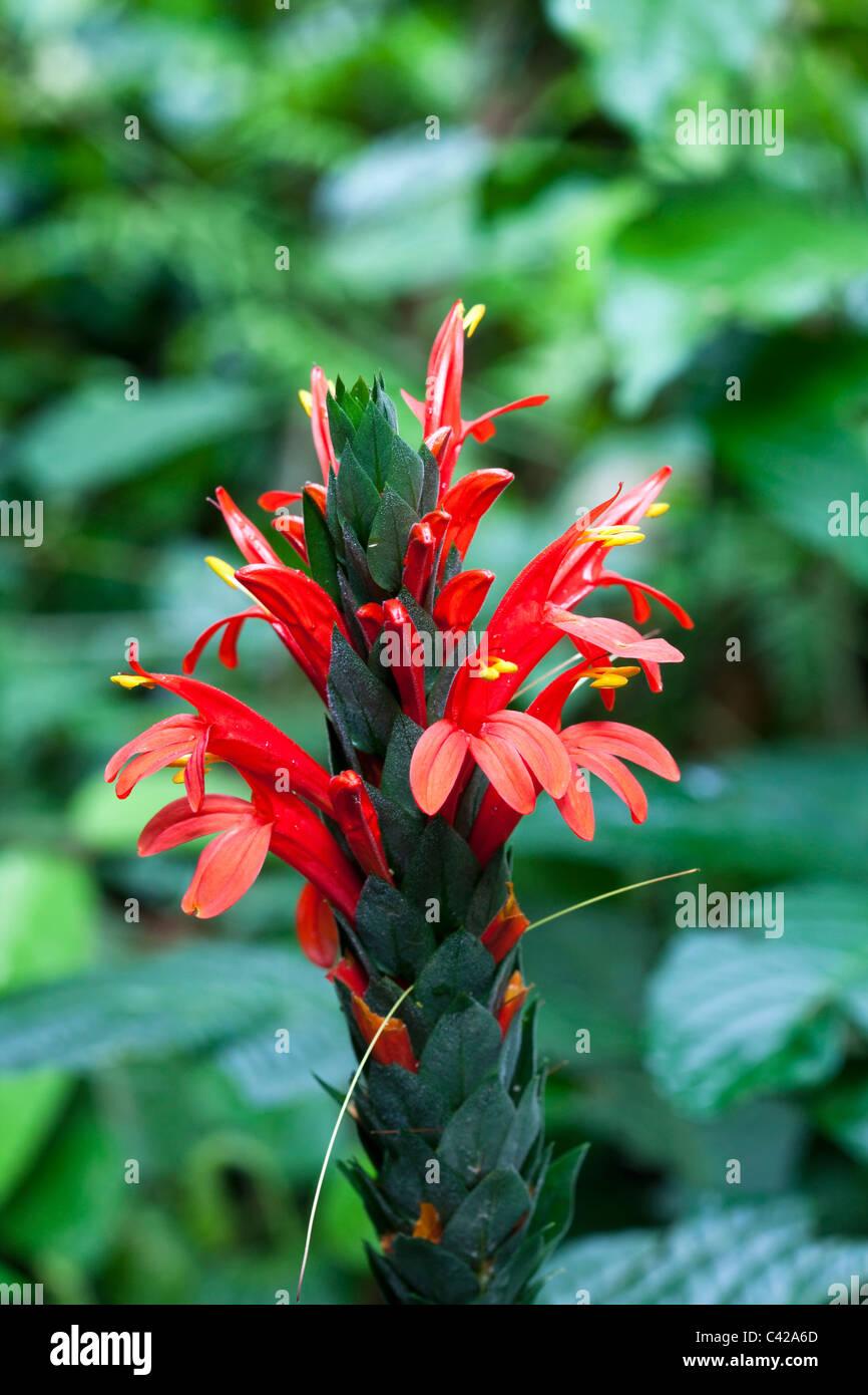 Peru, Cruz de Mayo, Manu National Park, UNESCO World Heritage Site, Pantiacolla mountains. Red flower, blooming. - Stock Image