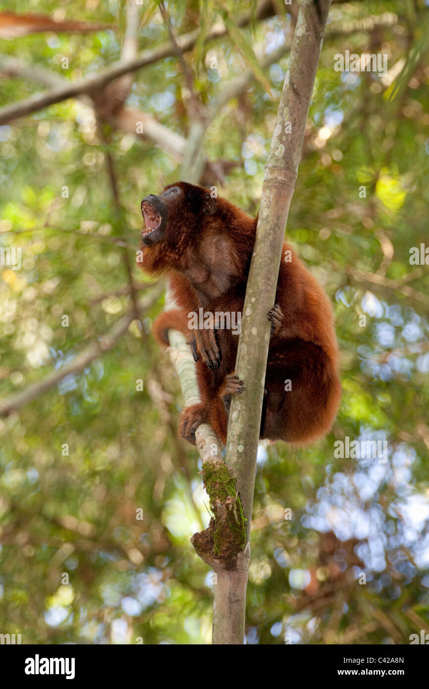 Peru, Cruz de Mayo, Manu National Park, Pantiacolla mountains. Old Red Howler monkey ( Alouatta Seniculus ). - Stock Image