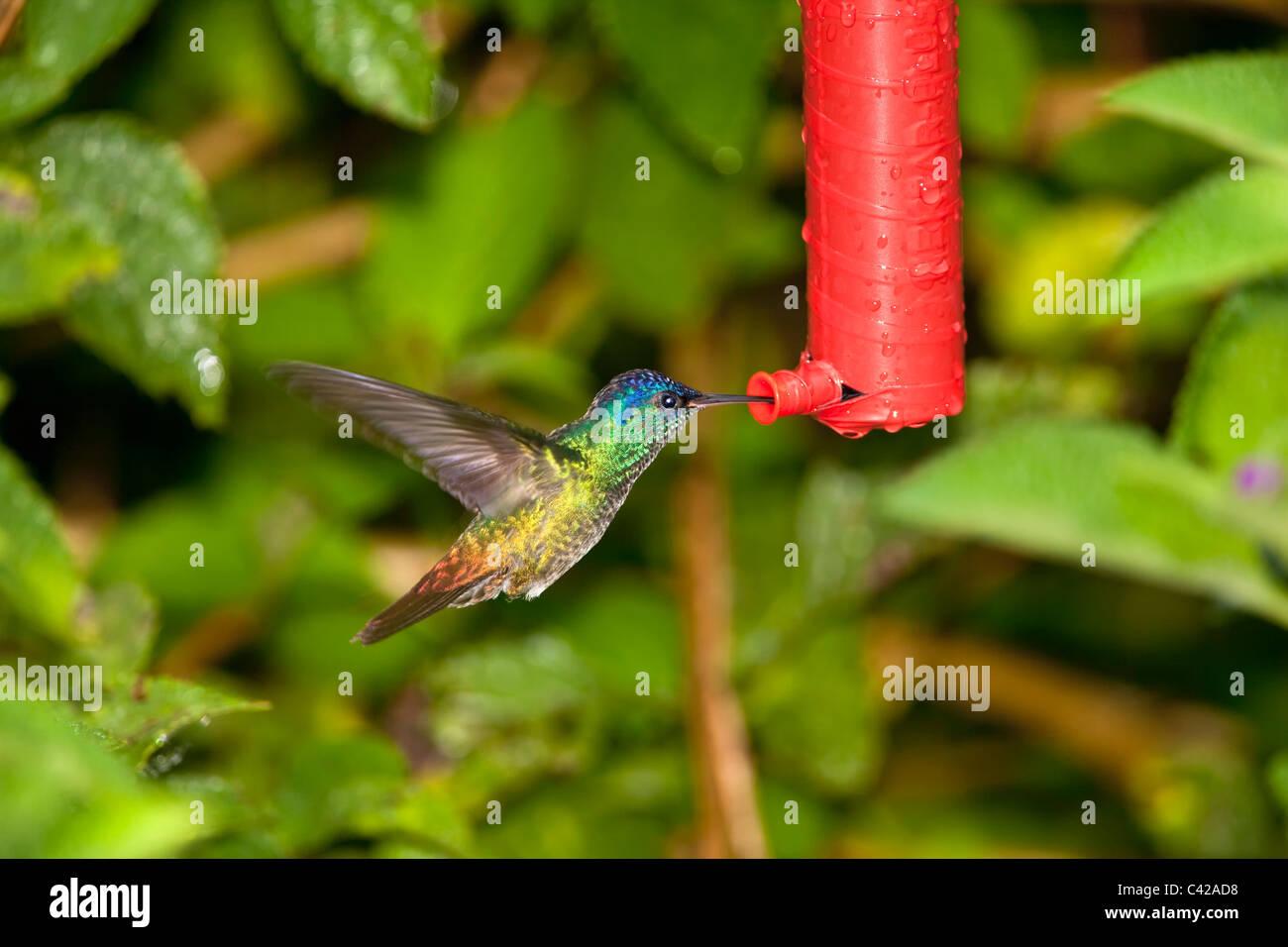 Manu National Park, Pantiacolla mountains. Golden Tailed Sapphire Hummingbird ( Chrysuronia Oenone ). Male. At feeder. - Stock Image