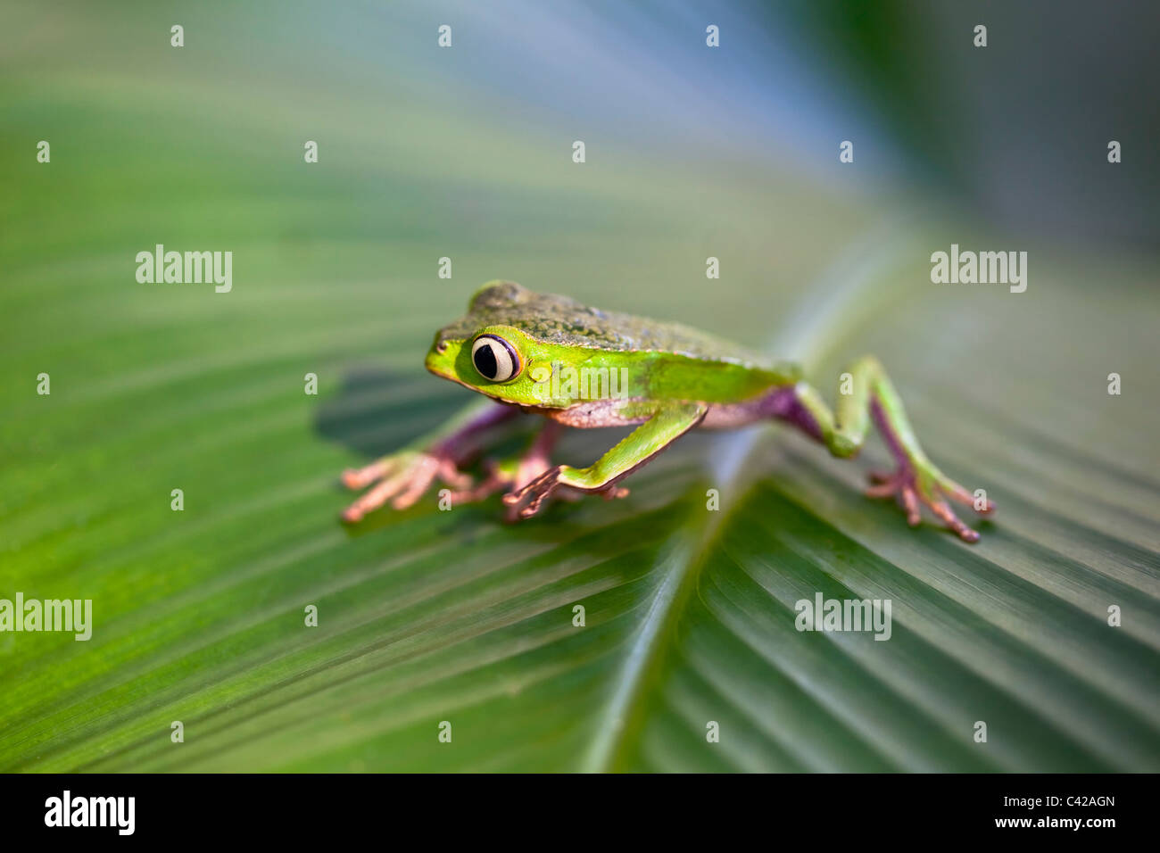 Peru, Cruz de Mayo, Manu National Park, Pantiacolla mountains. White lined leaf frog ( (Phyllomedusa vaillanti ). - Stock Image