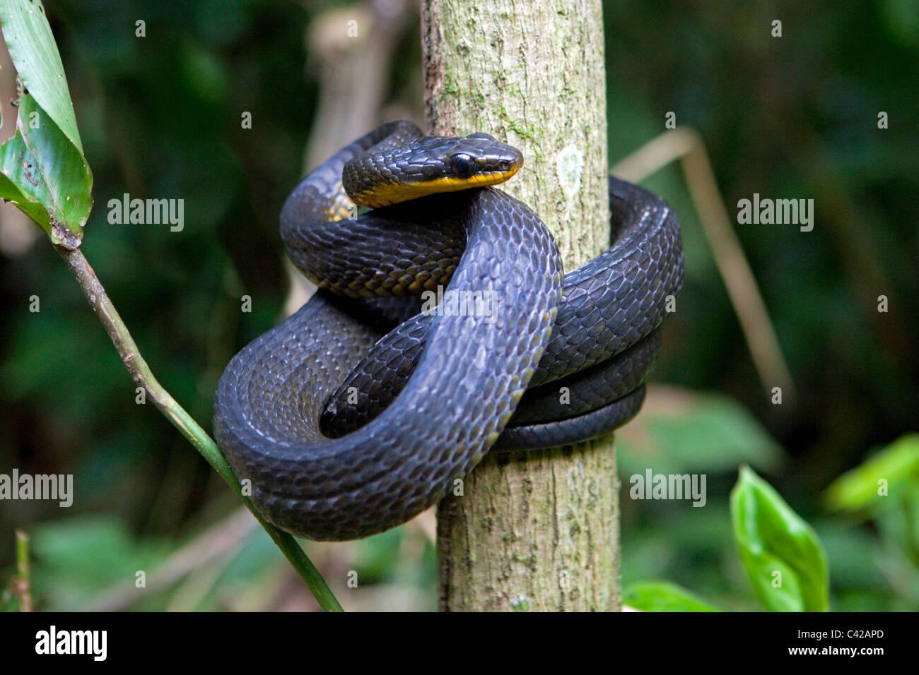 Peru, Cruz de Mayo, Manu National Park, UNESCO World Heritage Site, Pantiacolla mountains. Snake. Stock Photo
