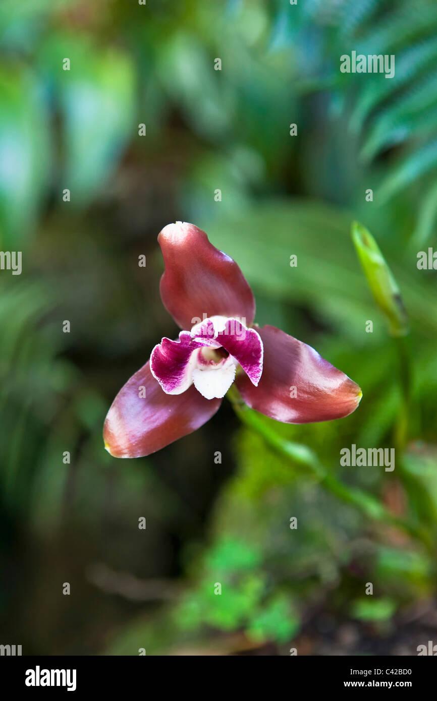 Peru, Aguas Calientes, Machu Picchu, Inkaterra Machu Picchu Pueblo Hotel. Garden. Orchid. - Stock Image
