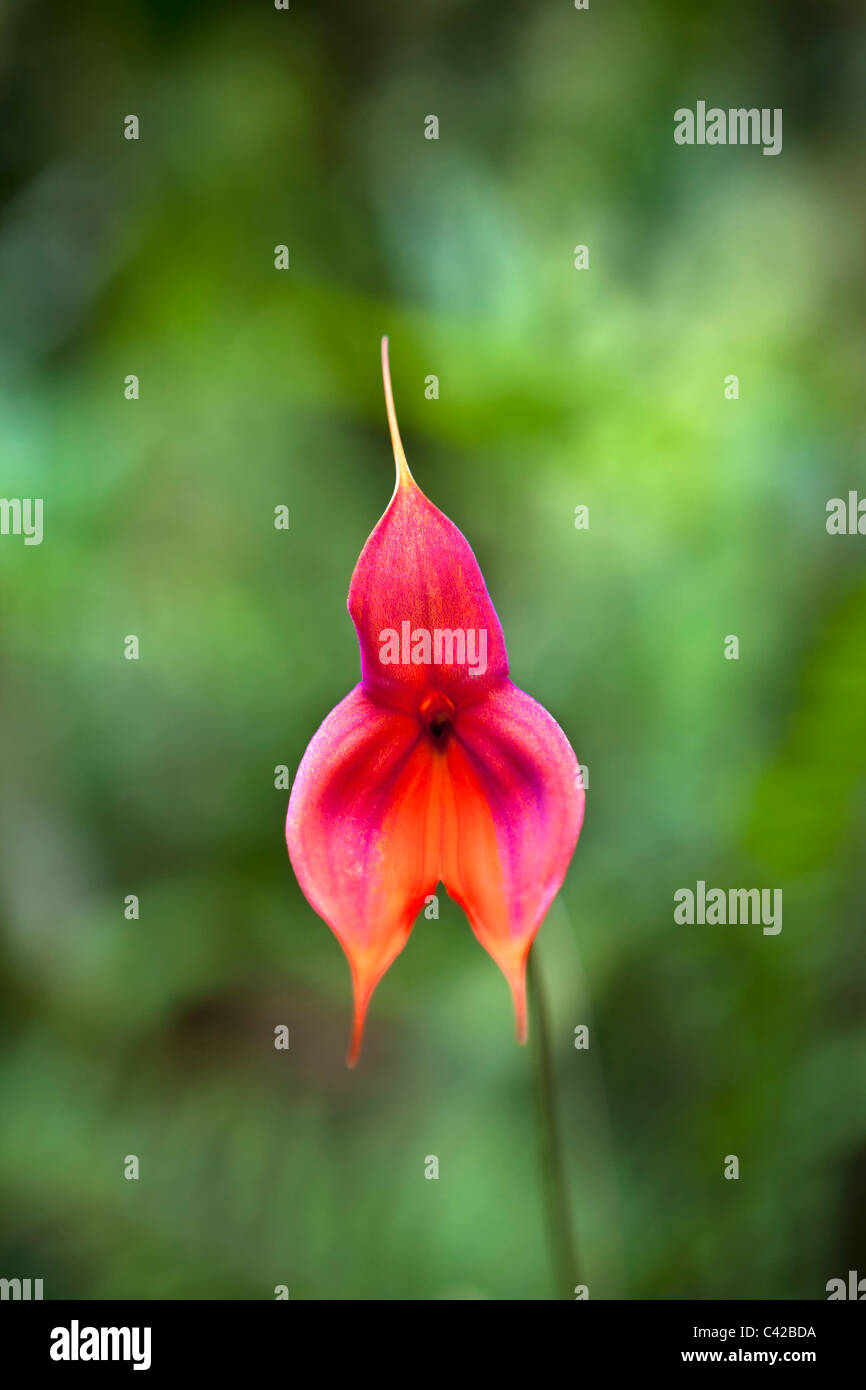 Orchid called: Masdevallia veitchiana, also known as Veitch's Masdevallia or King of the Masdevallias. - Stock Image