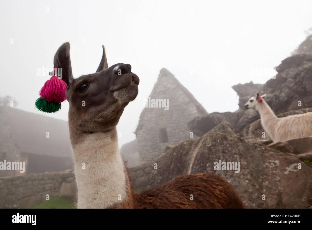 Peru, 15th-century Inca site located 2,430 metres (7,970 ft) above sea level. Llama. (Lama glama). - Stock Image