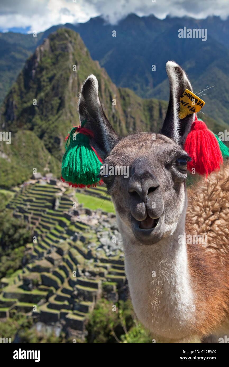 Peru, Aguas Calientes, Machu Picchu.15th-century Inca site located 2,430 metres (7,970 ft) above sea level. Llama. - Stock Image