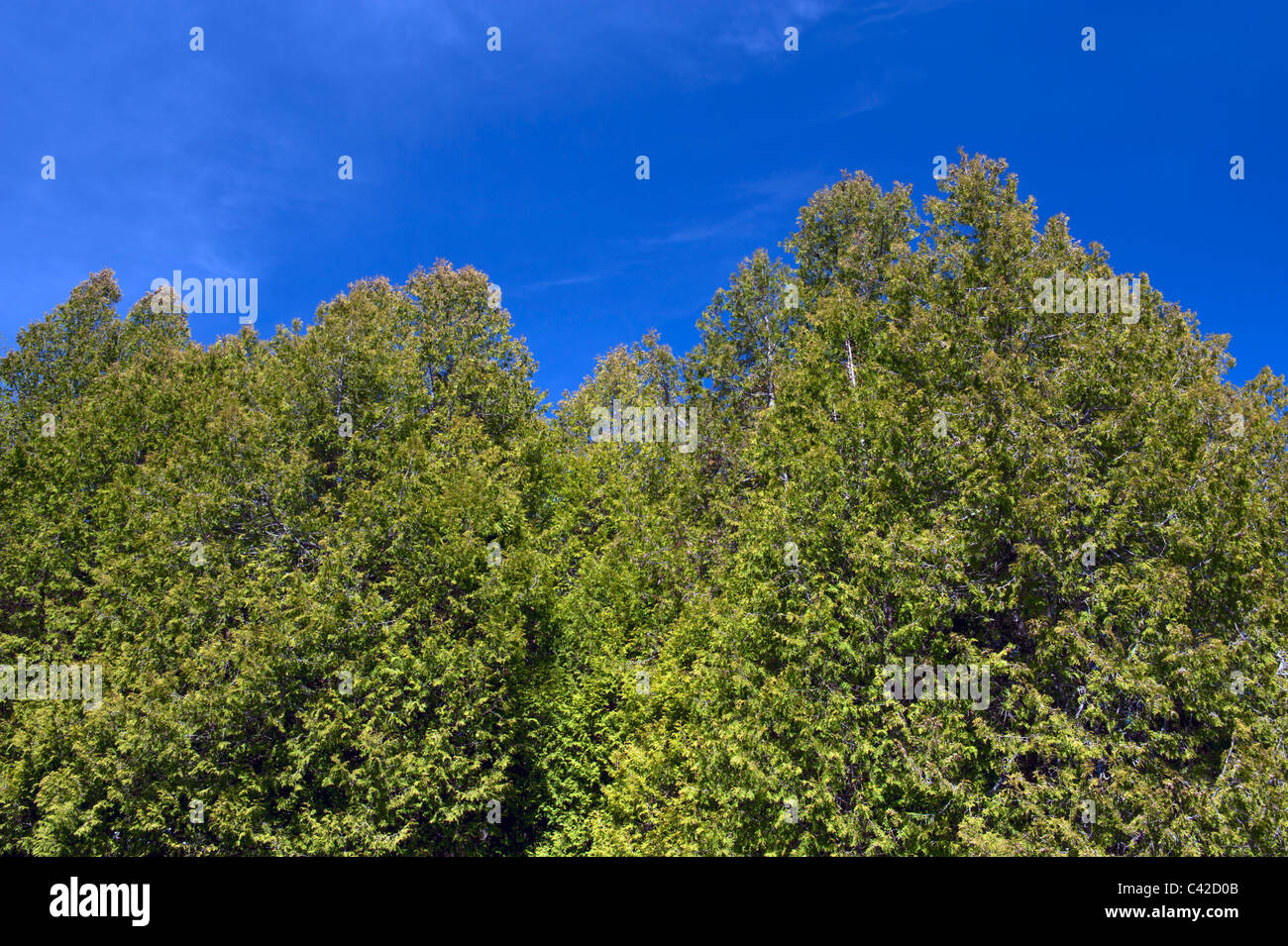 Partial view of a hedge of thuyas against a deep blue sky. Stock Photo