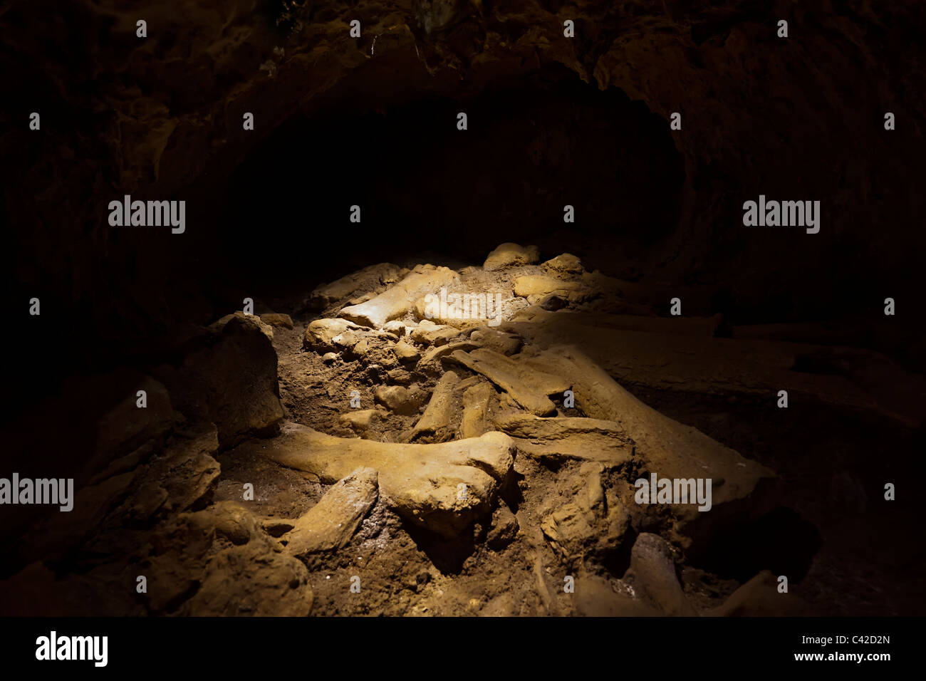 Replica of archaeological bones found in situ in a cave displayed in museum at Les Eyzies Dordogne France Europe - Stock Image