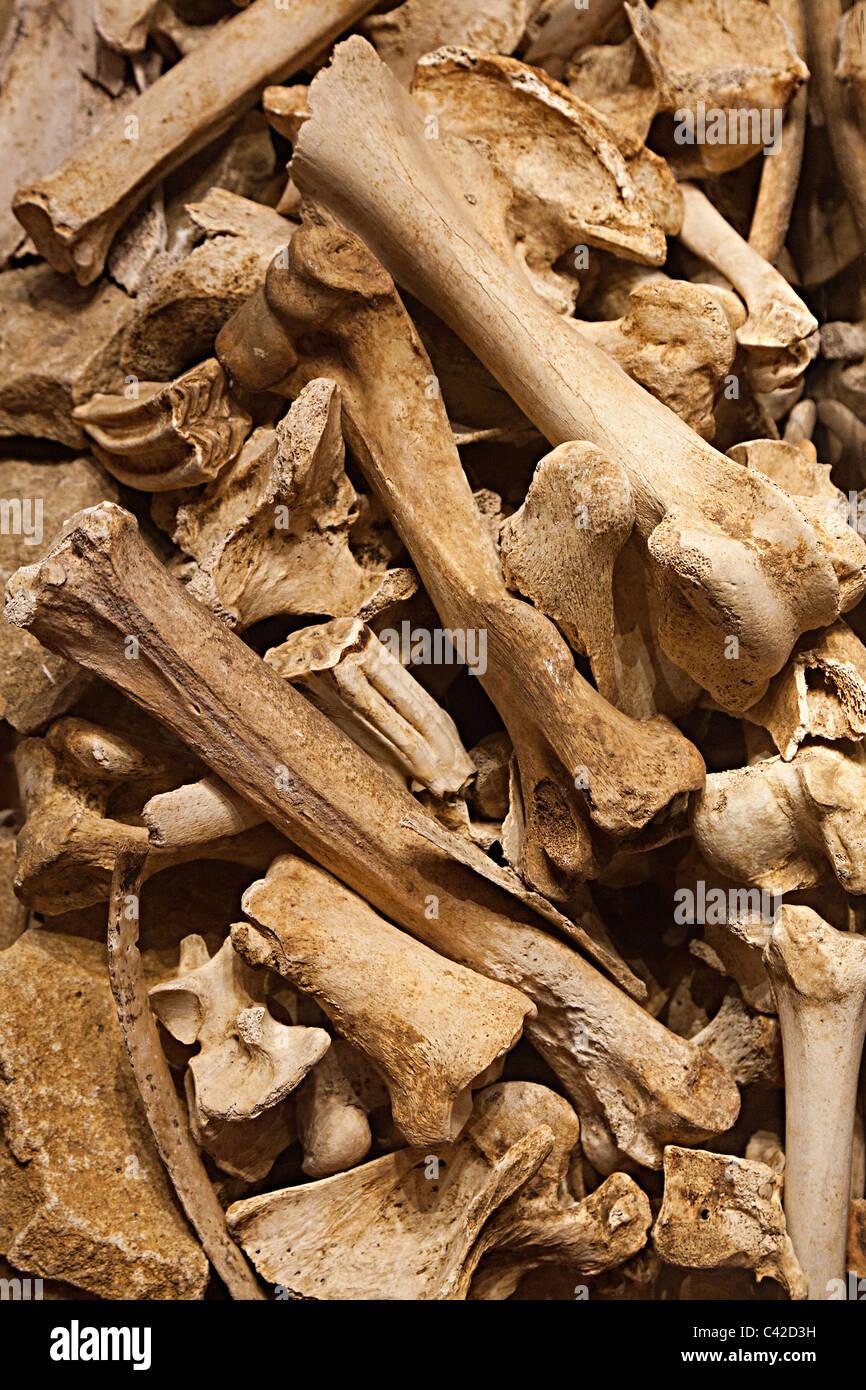 Pile of prehistoric fossil bones Dordogne France Europe - Stock Image