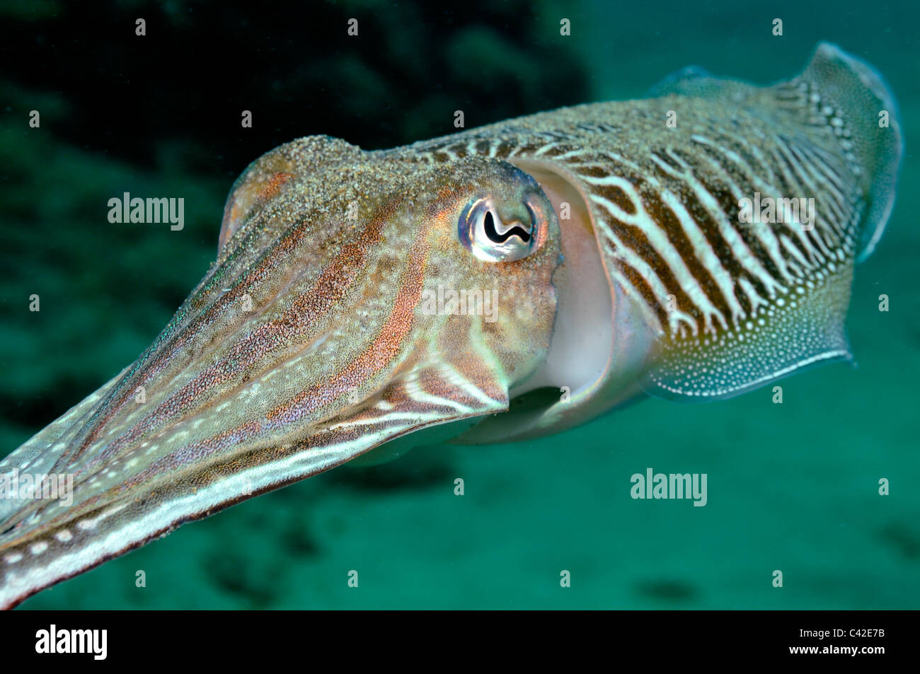 Cuttlefish (Sepia officinalis) swimming underwater facing away Stock Photo