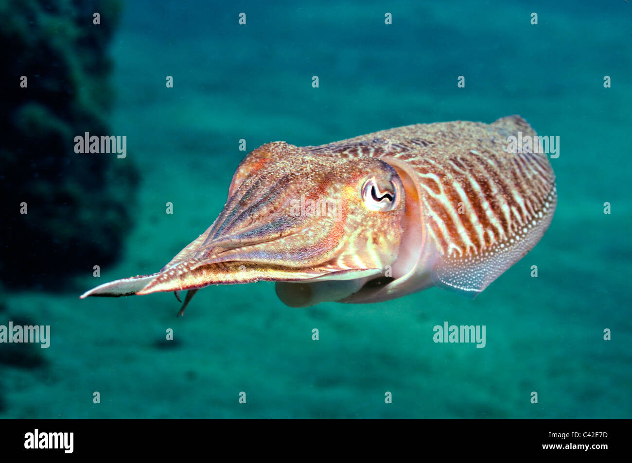 Cuttlefish (Sepia officinalis) swimming underwater - Stock Image