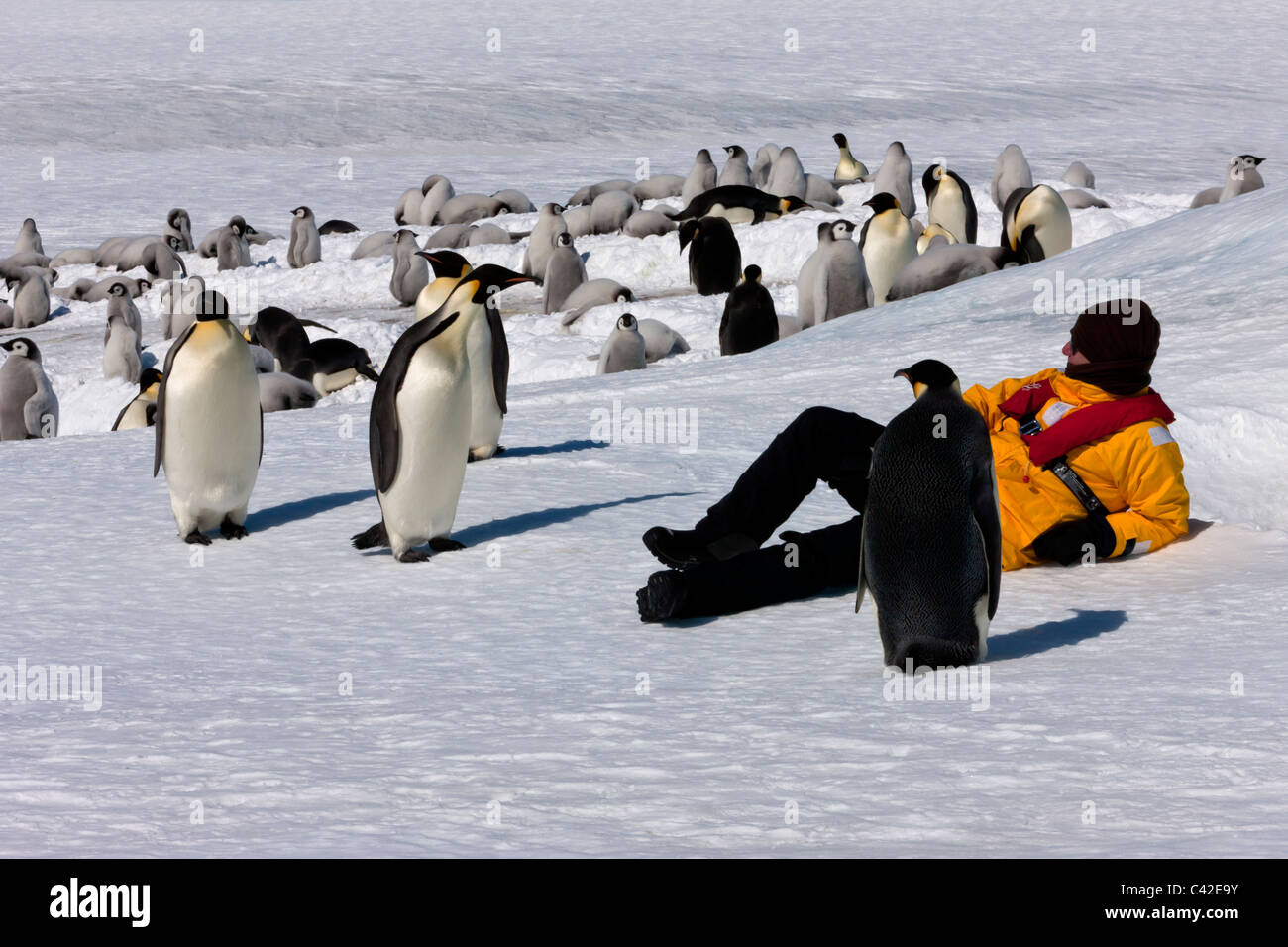 1 Comfortable Male Eco- tourist relaxing on snow surrounded by curious Emperor Penguins at friendly emperor penguin - Stock Image
