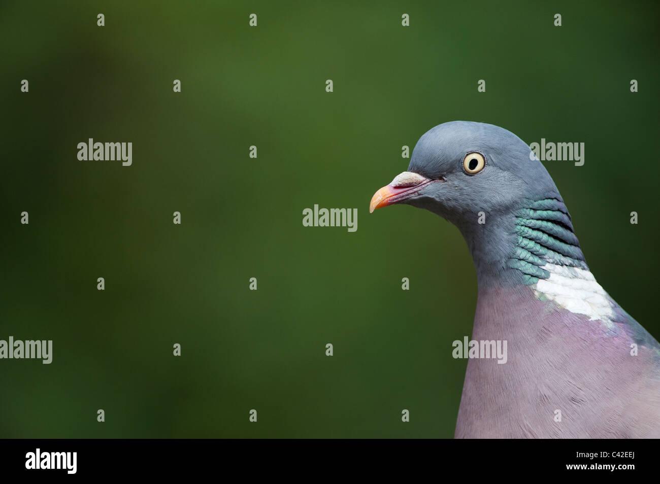 Columba palumbus. Wood pigeon head close up. UK - Stock Image