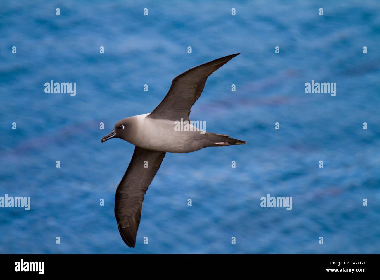 Light-mantled sooty albatross soars at eye leve, Elsehul, South Georgia Island - Stock Image