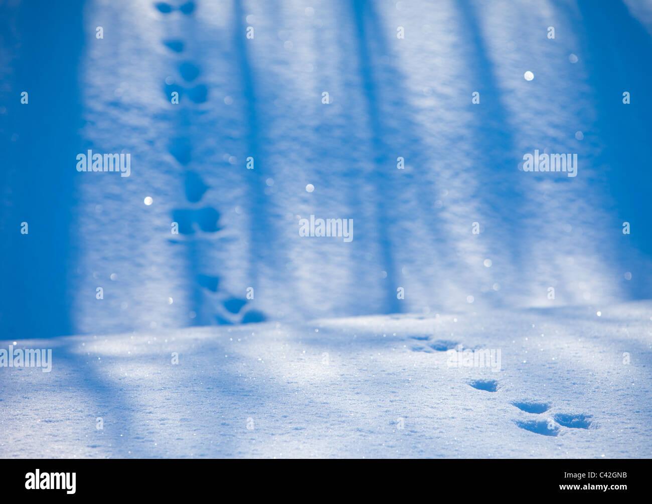 Set of European mountain hare ( Lepus timidus ) tracks on snow - Stock Image