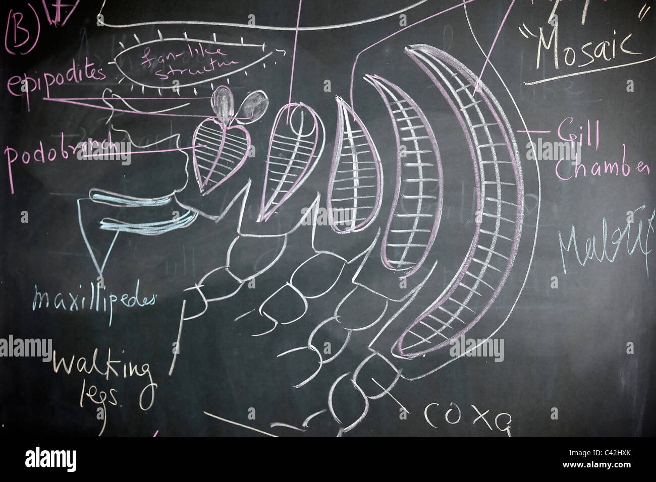 Body appendages Prawn arthropod blackboard Palemon classroom biology crustacean animal parts sketch drawing - Stock Image